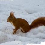 Uno scoiattolo durante il suo show